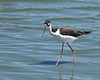 Black-necked Stilt looking for tidbits in the water.