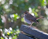 Hermit Thrush pausing for a moment on the back of a bench.