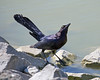 Great-tailed Grackle taking a drink of water at one of the Las Gallinas ponds.