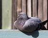 Rock Dove (wild), soaking up some sun at the Family Farm in the Children's Zoo.