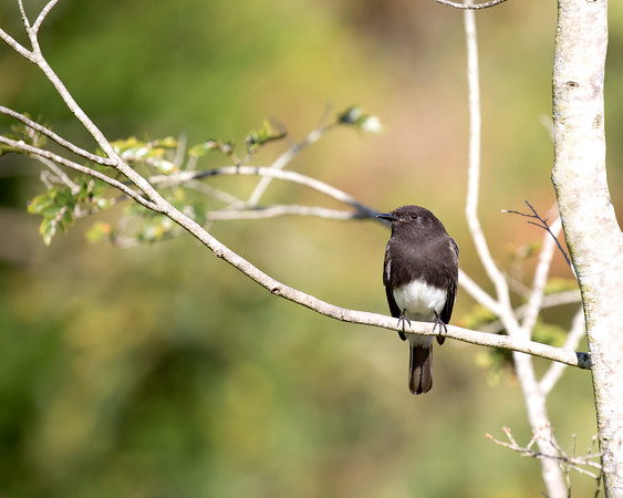 Black Phoebe near the front pond in the Botanical Gardens