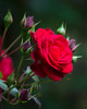 Red Rose, with many more to come!