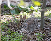 I found another bunny rabbit sitting very still, and camouflaged in the dry leaves.