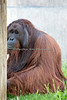 This appears to be the male Sumatran Orangutan.  He's sort of a shy kind of guy.