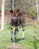 This was an amazing looking animal, which I don't see very often in Zoos.  (Okapi)