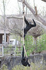 Siamangs playing on the rope.  This is a great exhibit, and allows plenty of exercise for these active apes.