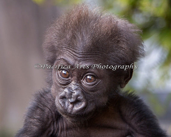 Such a C.U.T.E. Baby!  And now she has a name:  Kabibe!!!  (3 month old, female, Western Lowland Gorilla)