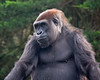 Monifa (female Gorilla)
