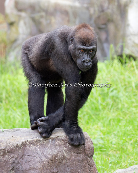 Here's 6 year old Hasani.  He was busy poking the female gorillas and running on this particular day.  Always keeping himself busy, you know!