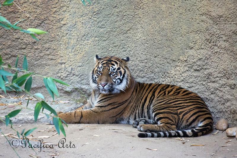 """CJ,"" a male Sumatran Tiger"