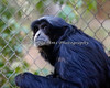 """Are you lookin' at me?""  (Siamang)"