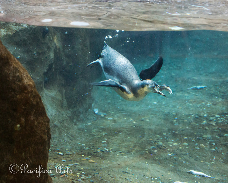 Humboldt Penguin catching a fish