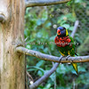 Rainbow Lorikeet at Lorikeet Landing