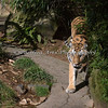 "Male Amur Tiger, ""Mikhail"", walking around his exhibit"