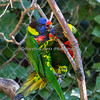 Two Rainbow Lorikeets playing at Lorikeet Landing