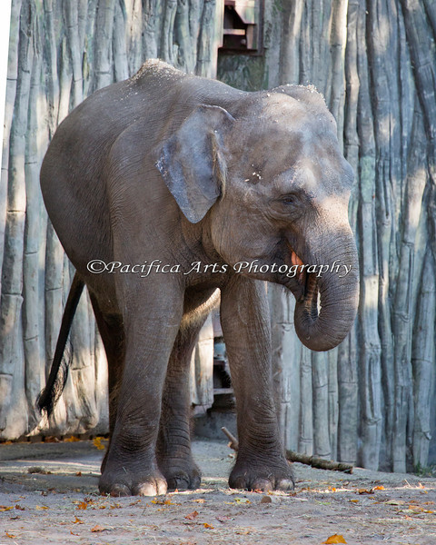 One of the Asian Elephants in the outside yard.