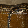 "Say hello to ""Bob"", an African Rock Python"