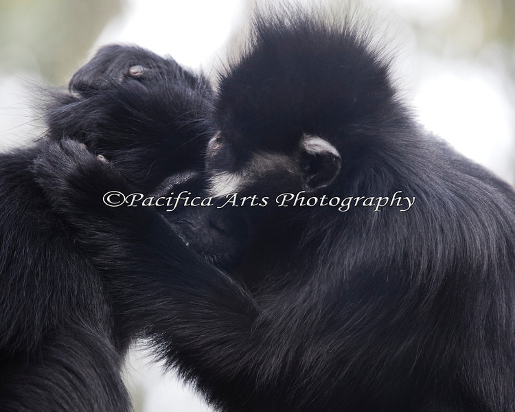 Two Francois' Langurs, grooming.