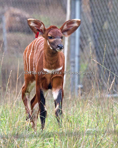 So Pretty!  (2 week old Eastern Mountain Bongo)