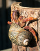 Did you know that Hermit Crabs are good climbers?