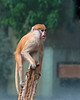 Baby Patas Monkey climbs to the top of the stump for a better look around.