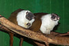 A couple of Pied Tamarins; One is chewing on a branch, and the other is hoping she will share some.