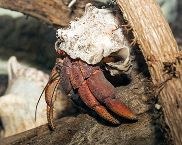 Hermit Crab in the Insect Zoo
