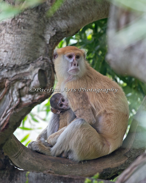 Time out for lunch and a nap. (Patas Monkey Winnie, and her baby)