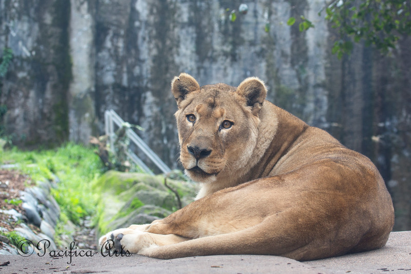 Ok, just one more of Amanzi. (African Lion)