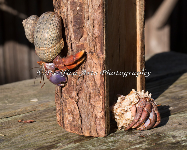 And they're good at climbing back down too!  (Hermit Crab)