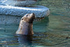 Henry comes up for air after swimming a few laps around his pool. (California Sea Lion)