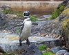 One of the Magellanic Penguins hopping off a rock, and coming to get the fish dinner being handed out by the Keepers.