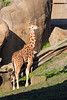 Bobby, the littlest one in the Reticulated Giraffe herd