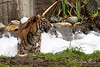 Jillian enjoying her bubble bath.  (Sumatran Tiger, Jillian's Birthday Party - 2/10/2014)