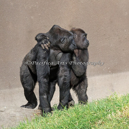 Nneka and Hasani watching the approach of silverback, Oscar Jonesy.