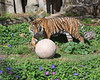 Larry, playing with one of the enrichment balls in his yard.  (Sumatran Tiger)