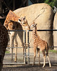 Dad, Floyd greets his new little son, Bobby (Reticulated Giraffes)
