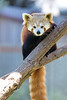 One of these days, I'm going to be able to tell one Red Panda from another.  This is either Hillary or Hunter.