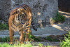 Jillian - all grown up!  (Sumatran Tiger)