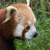 A close up of Tenzing, a Red Panda.  Love those whiskers!
