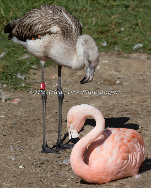 """Move - I wanna sit there"".   (Chilean Flamingos - juvenile & adult)"