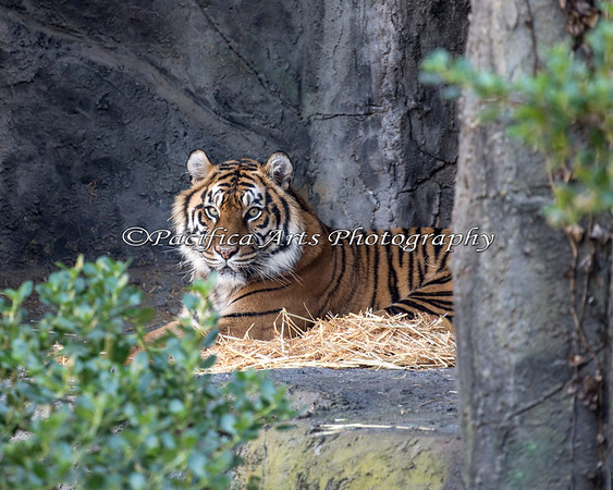 Leanne resting on the ledge in the back of her yard.  (Sumatran Tiger)