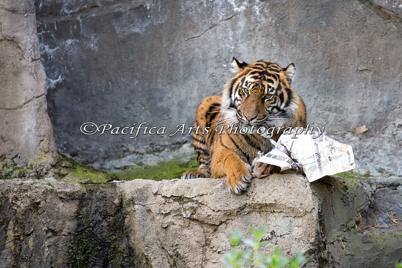At the end of her 2nd Birthday party, Jillian discovers a big bone wrapped in paper, on the upper ledge.  (Sumatran Tiger)