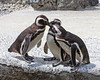 A little competition between the Magellanic Penguins