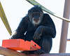 Cobby opens a box of goodies that the Keepers gave him on Valentine's Day.  (Chimpanzee)