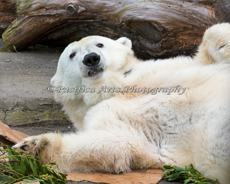 Piké stretching out for an afternoon nap.  (Polar Bear)