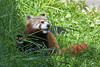 Munch, munch, munch!  (Red Panda, Tenzing I think)