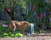 Jillian looks at mom's crown, and decides to go for the treat inside the box instead.  (Sumatran Tiger)