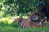 Jillian resting in the shade.  (Sumatran Tiger)