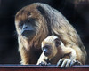 Mom and baby, Black Howler Monkeys